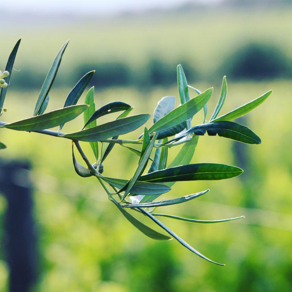 Ramo di olivo.