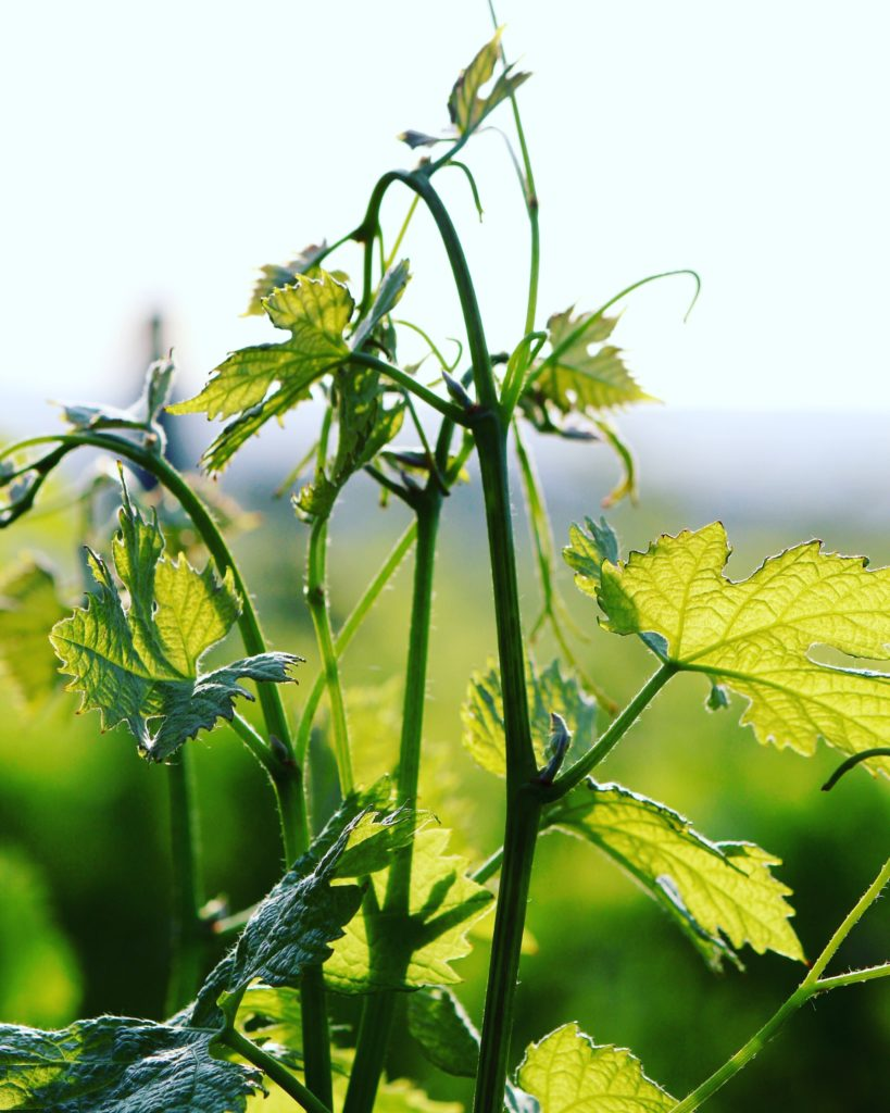 pianta di uva