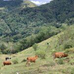 mucche monte